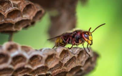 Hornets in Canaan