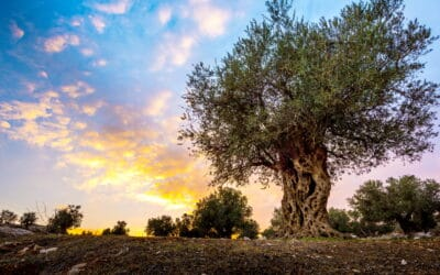 Olive Press or Wine Press